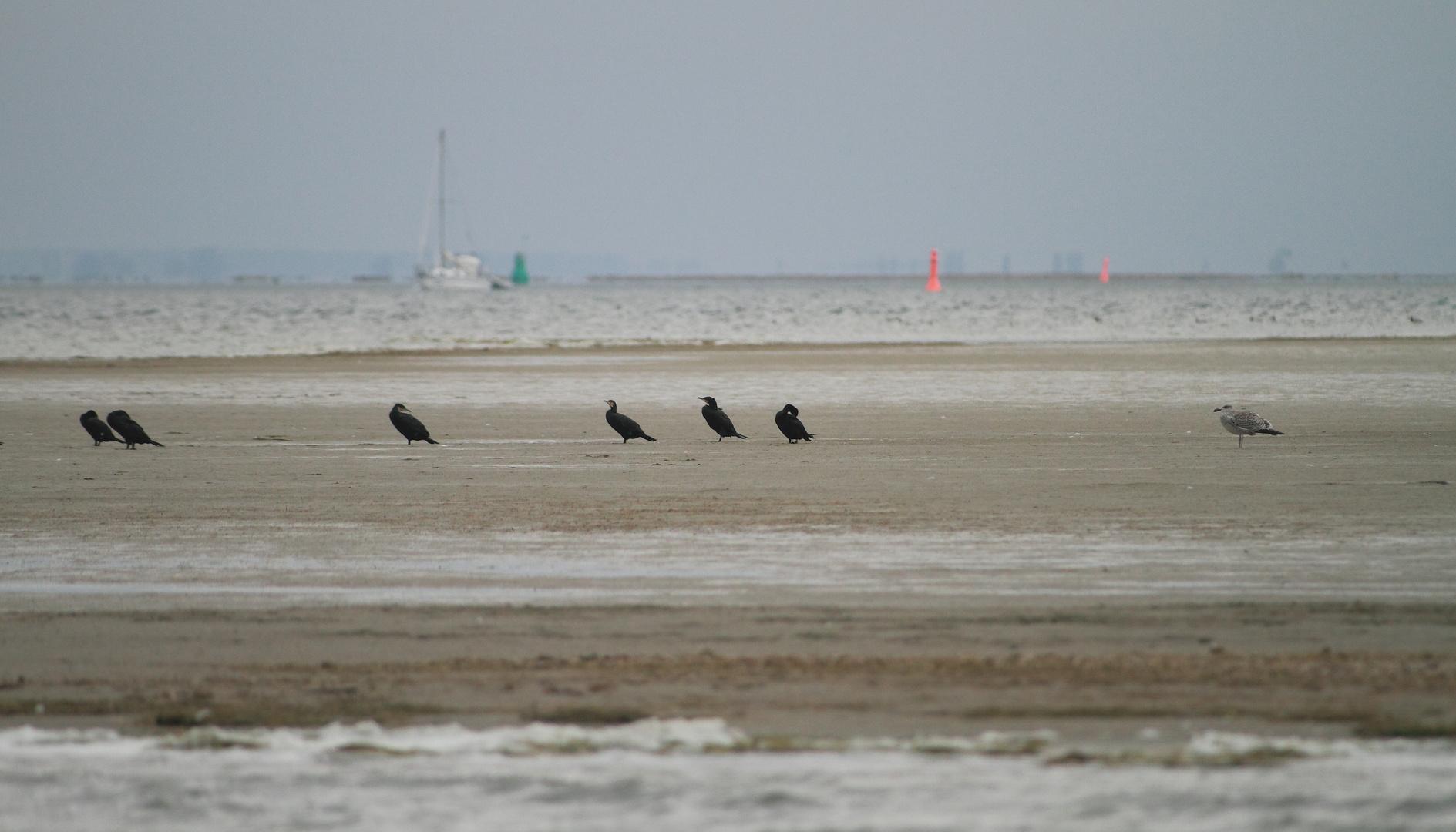 Ostsee ganz Nah - Kormorane im Bodden 1