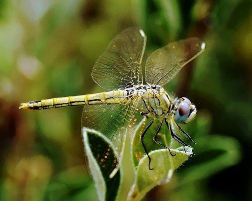 Otra libélula
