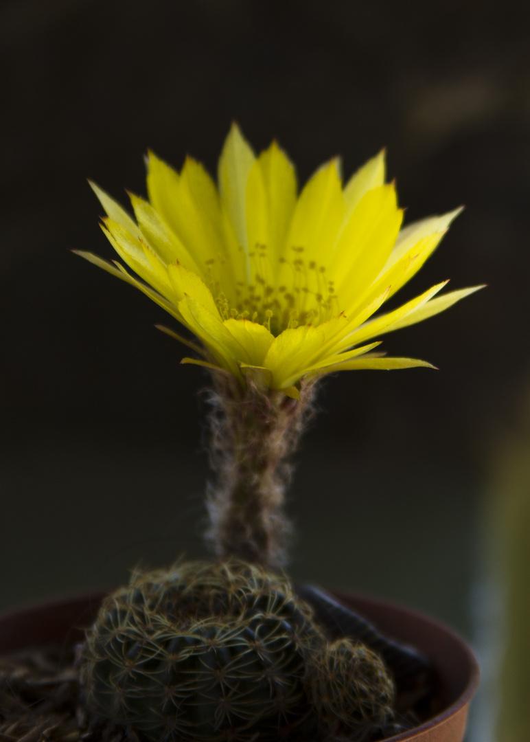 Otra pequeña flor de cactus de mi jardin