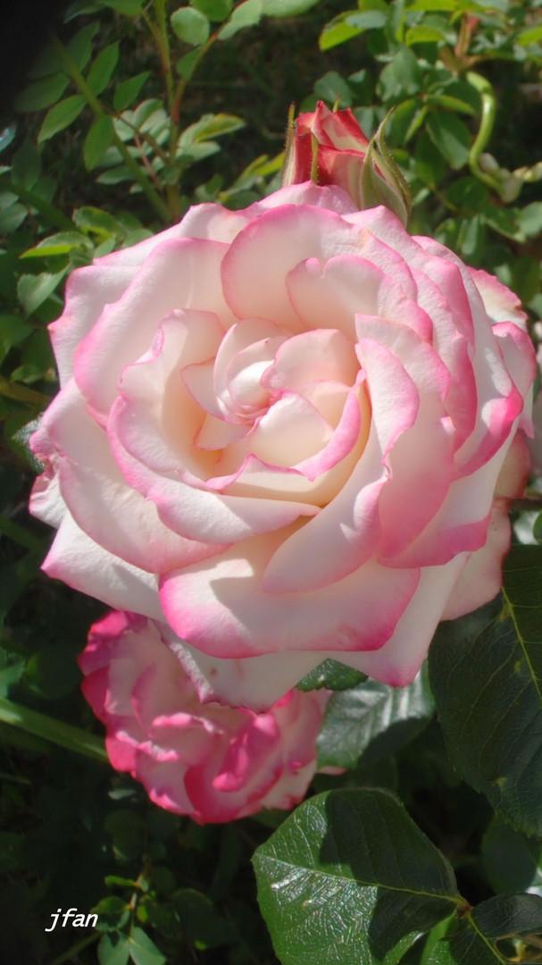 Otra rosa, rosa
