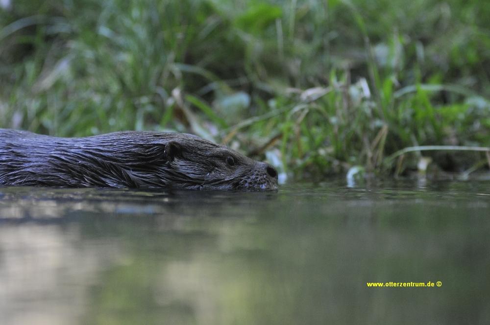 Otter 8
