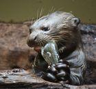 Otter-Baby