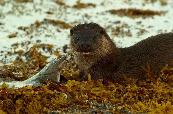 Otter beim Frühstücken