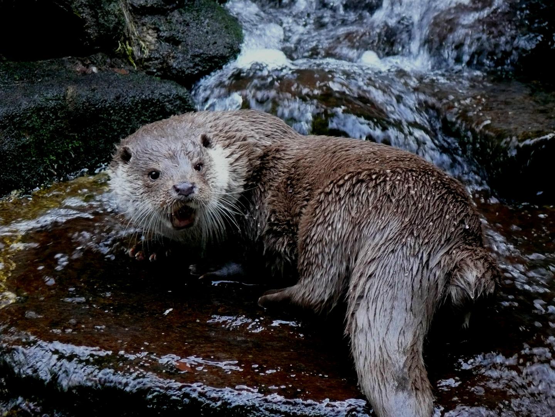 Otter im Bayerwald Tierpark