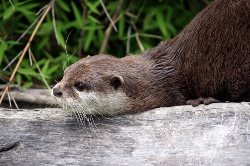 Otter im Frankfurter Zoo