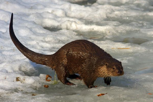 Otter im Schnee