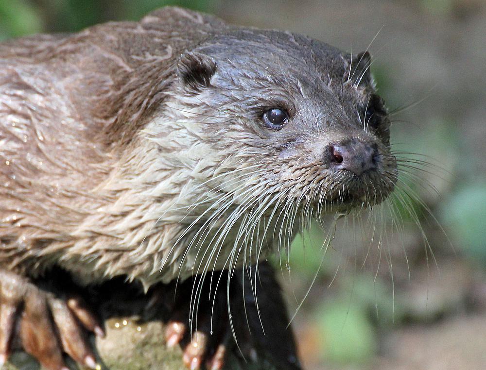 Otter in Krefeld