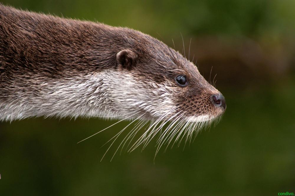 Otter - langer Hals