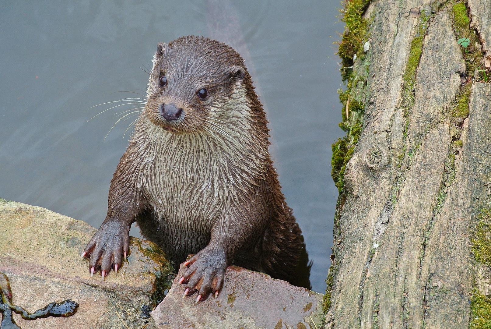 """Otter """"Rainer"""""""