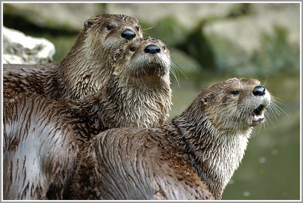 Otter, Wildpark Bad Mergentheim
