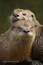 Otterpärchen