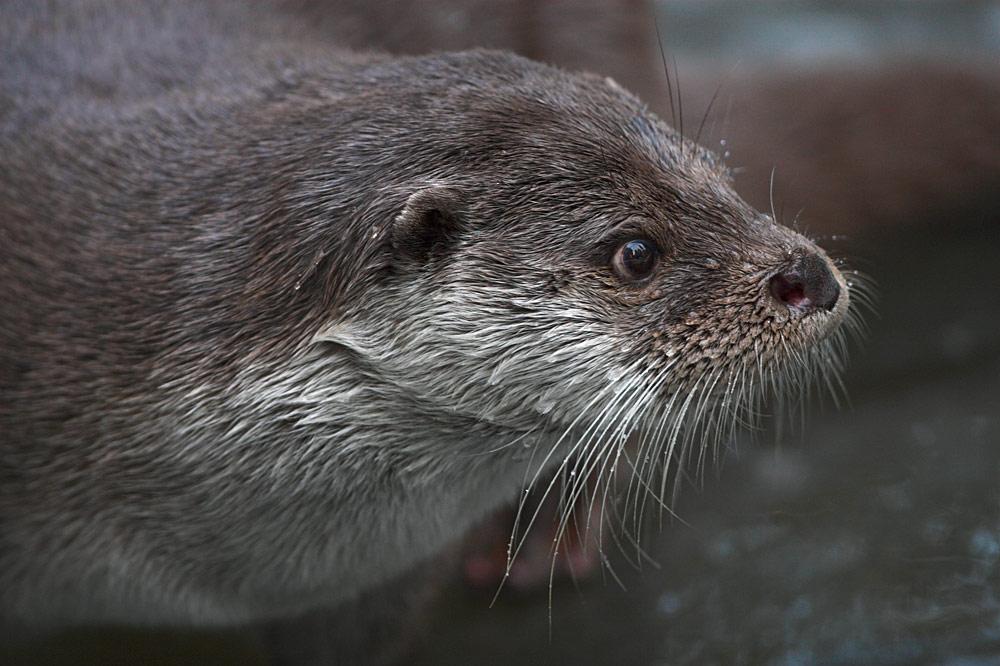 Otterportrait