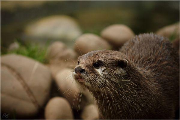 Otti Otter...