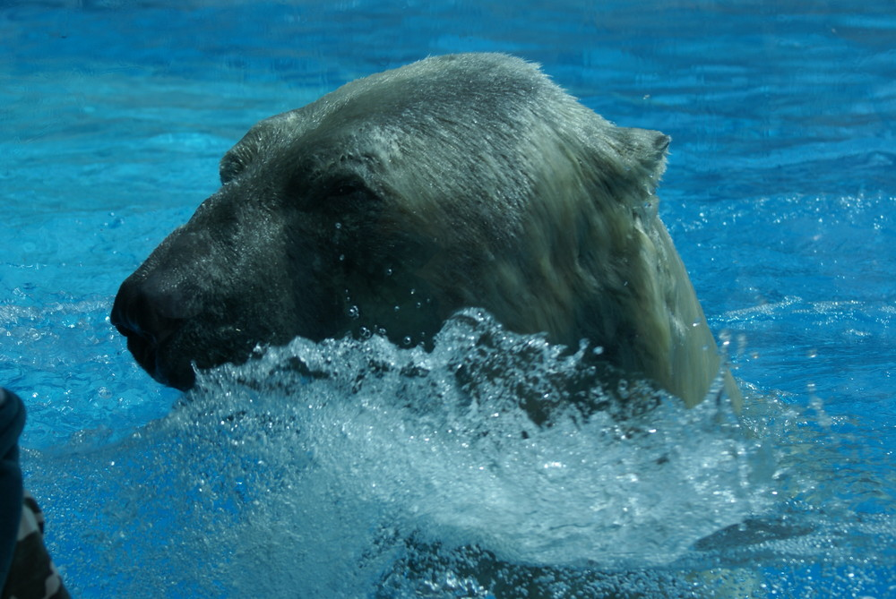 ours blanc qui sort de l'eau