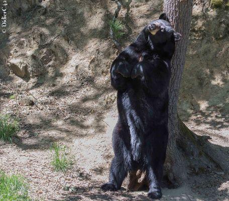Ours qui se frotte contre un arbre