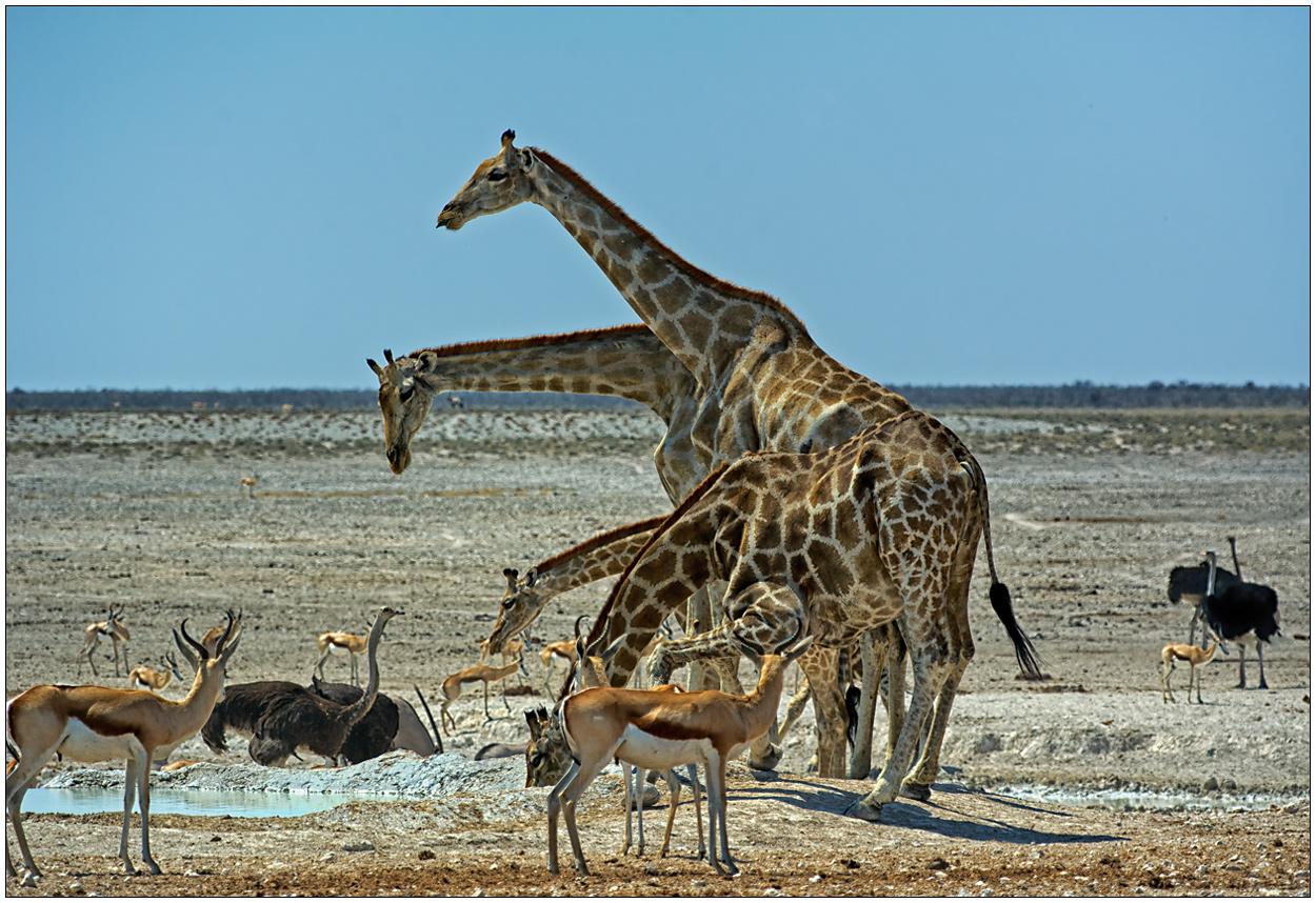 Out of Africa [81] - Die vierköpfige Giraffe