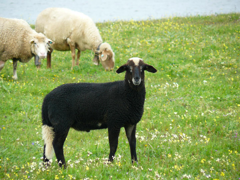 oveja negra de cola blanca