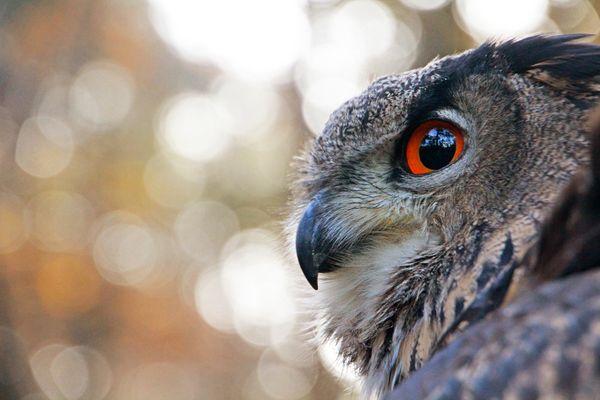 Owl's Eye (Uhu - Eulenauge)