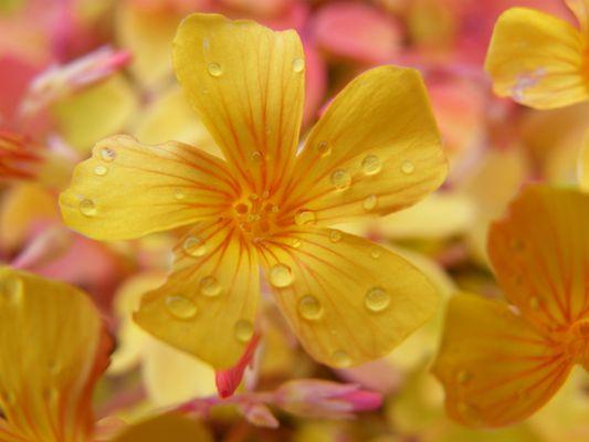 oxalis sous la pluie