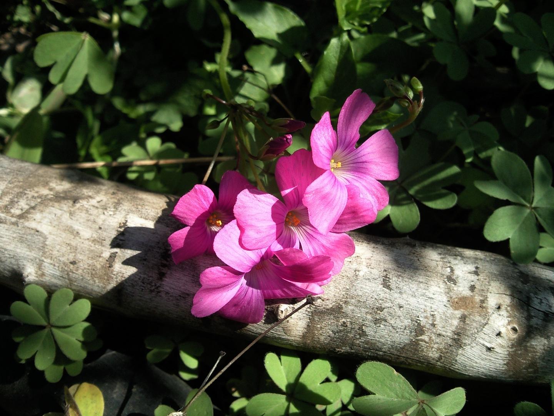 Oxalis un apronte de la primavera