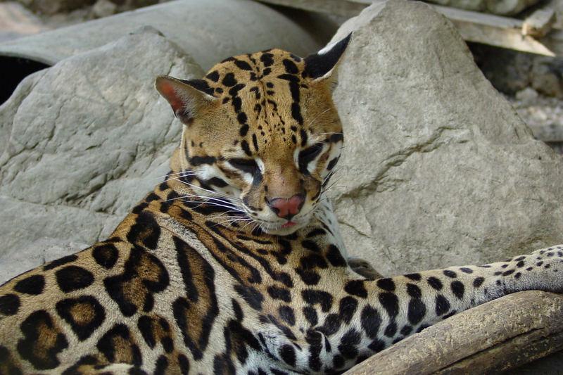 Ozelot [Leopardus pardalis]