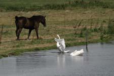 paard + zwanen