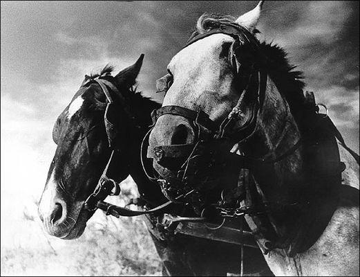 Paarden, Essaouira, Maroc (1974)