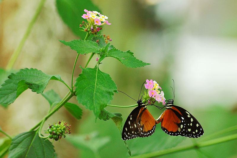 Paarende Schmetterlinge