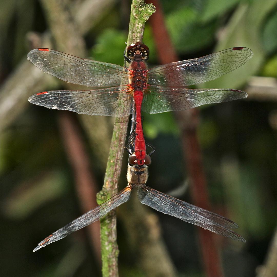 Paarung der Blutroten Heidelibelle (Sympetrum sanguineum) - 1