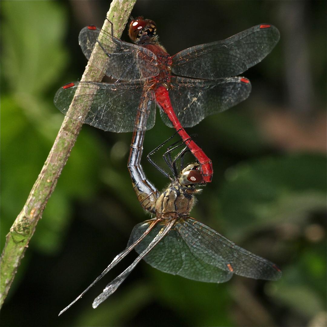 Paarung der Blutroten Heidelibelle (Sympetrum sanguineum) - 2