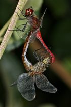 Paarung der Blutroten Heidelibelle (Sympetrum sanguineum) - 3