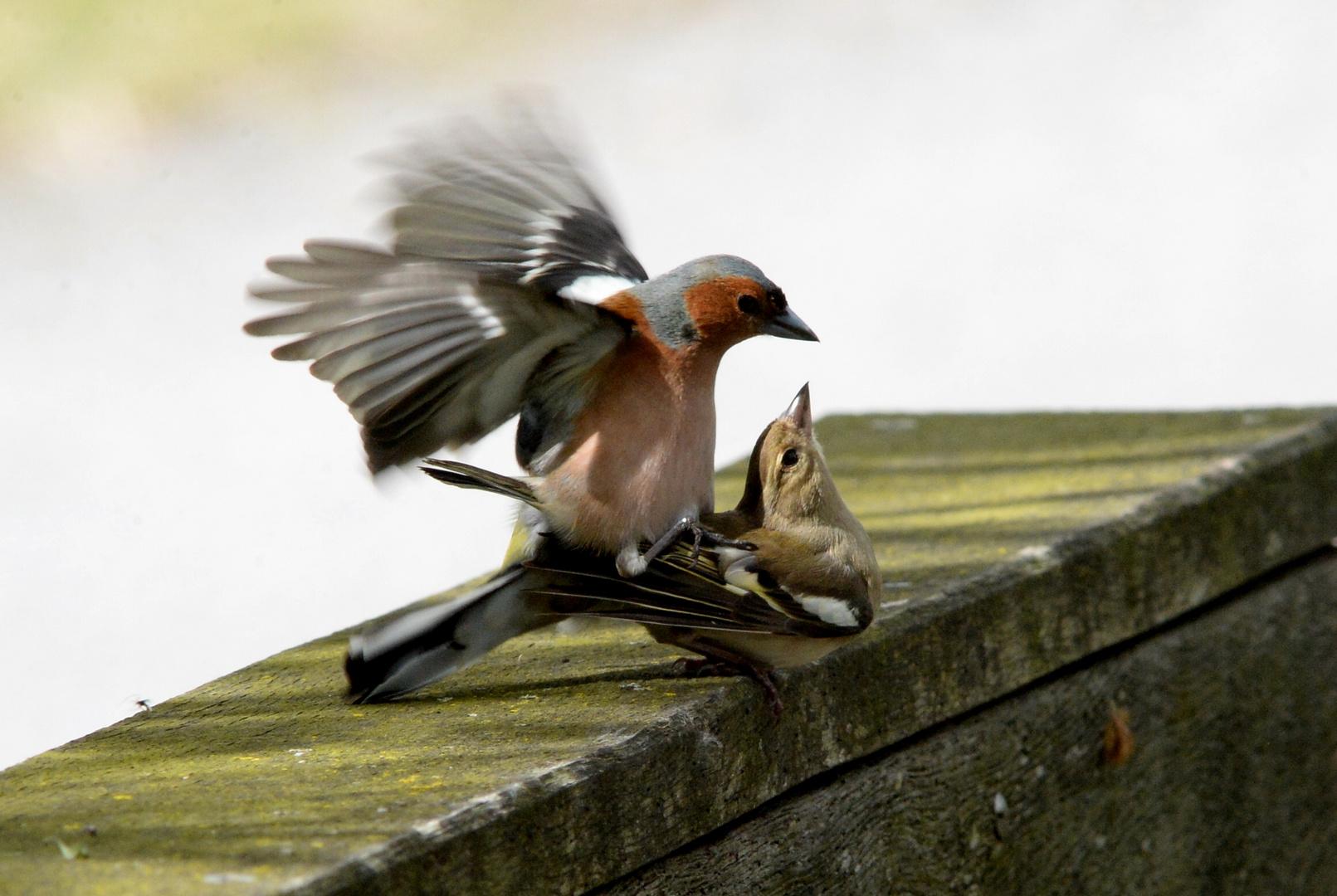 Paarung der Buchfinken