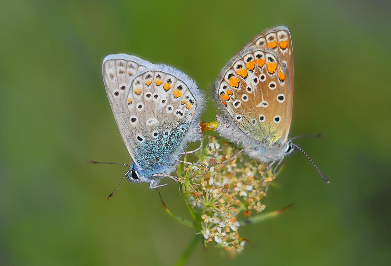 Paarung der Himmelblauen Bläulinge
