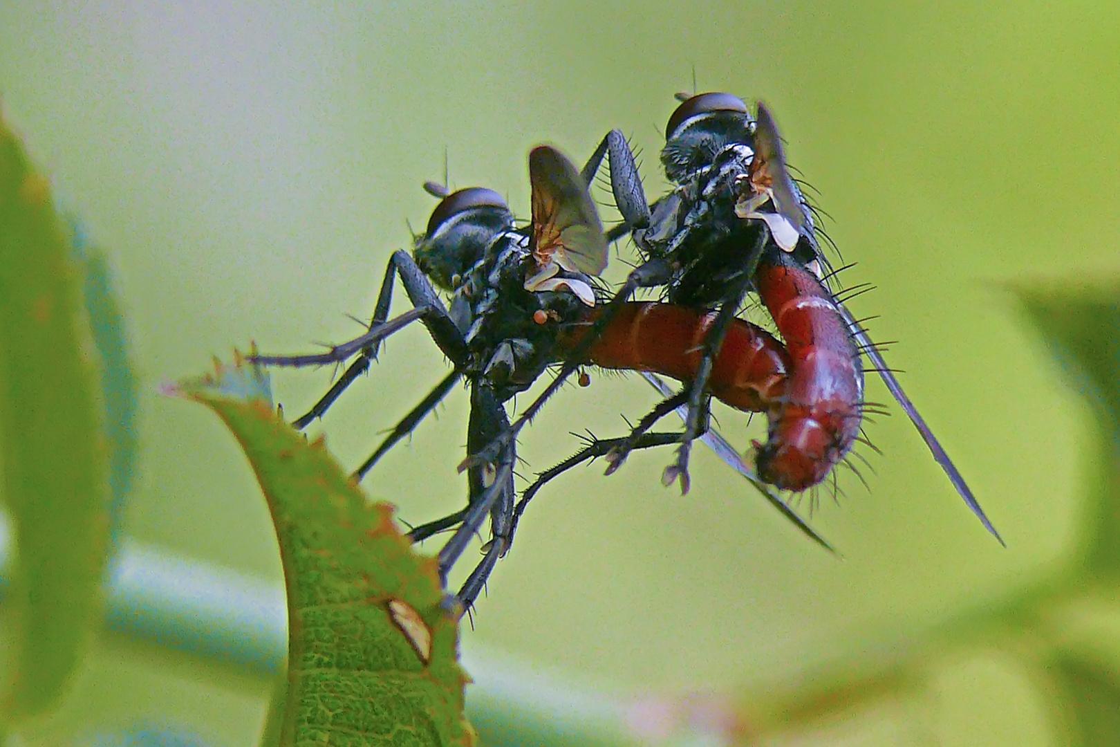 Paarung der Raupenfliege