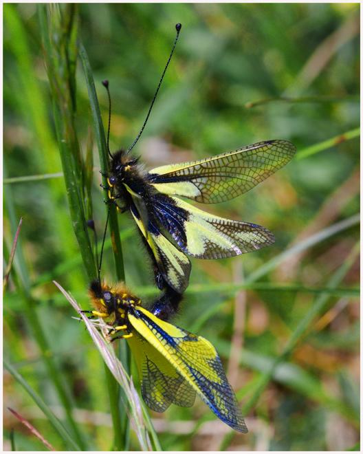 Paarung der Schmetterlingshaft