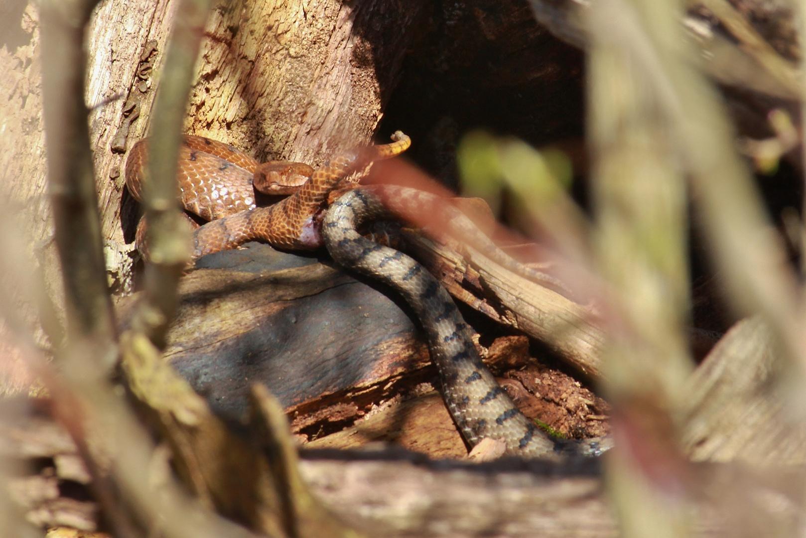Paarung-(Vipera a.aspis) Nord Jura