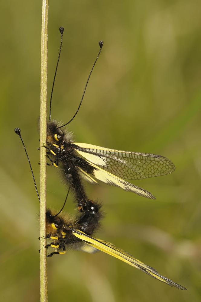 Paarung von Libellen-Schmetterlingshaft