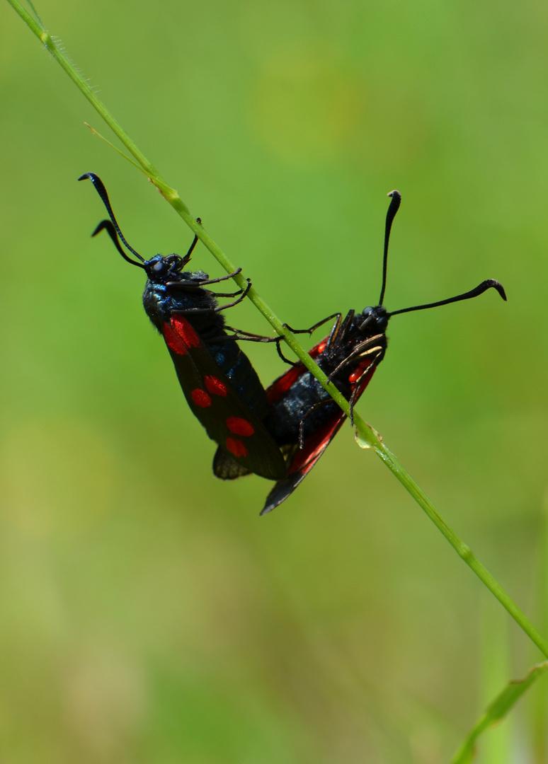 """Paarung zweier """" Blutströpfchen """" Schmetterlinge"""