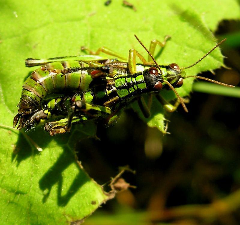 Paarungsakt der Alpinen Gebirgsschrecke I