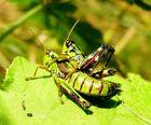 Paarungsakt der Alpinen Gebirgsschrecke II