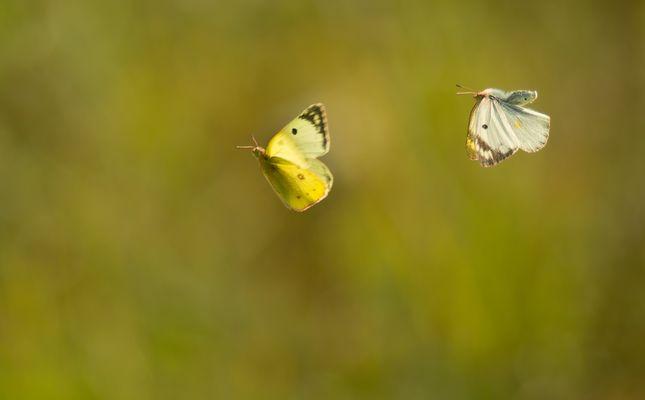 Paarungsflug