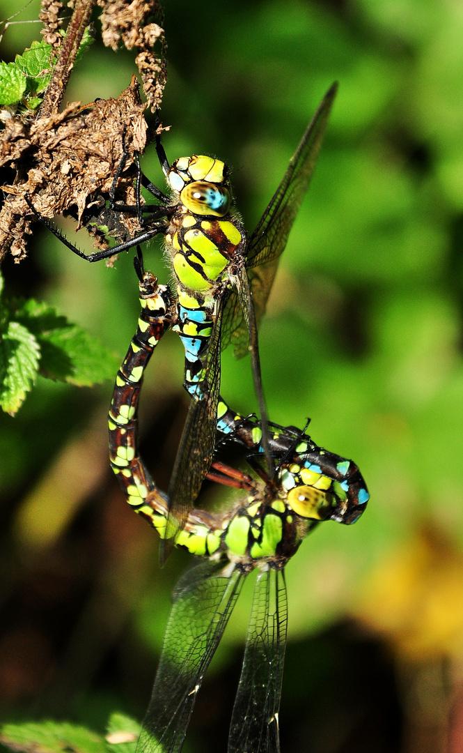 Paarungsrad der blaugrünen Mosaikjungfer