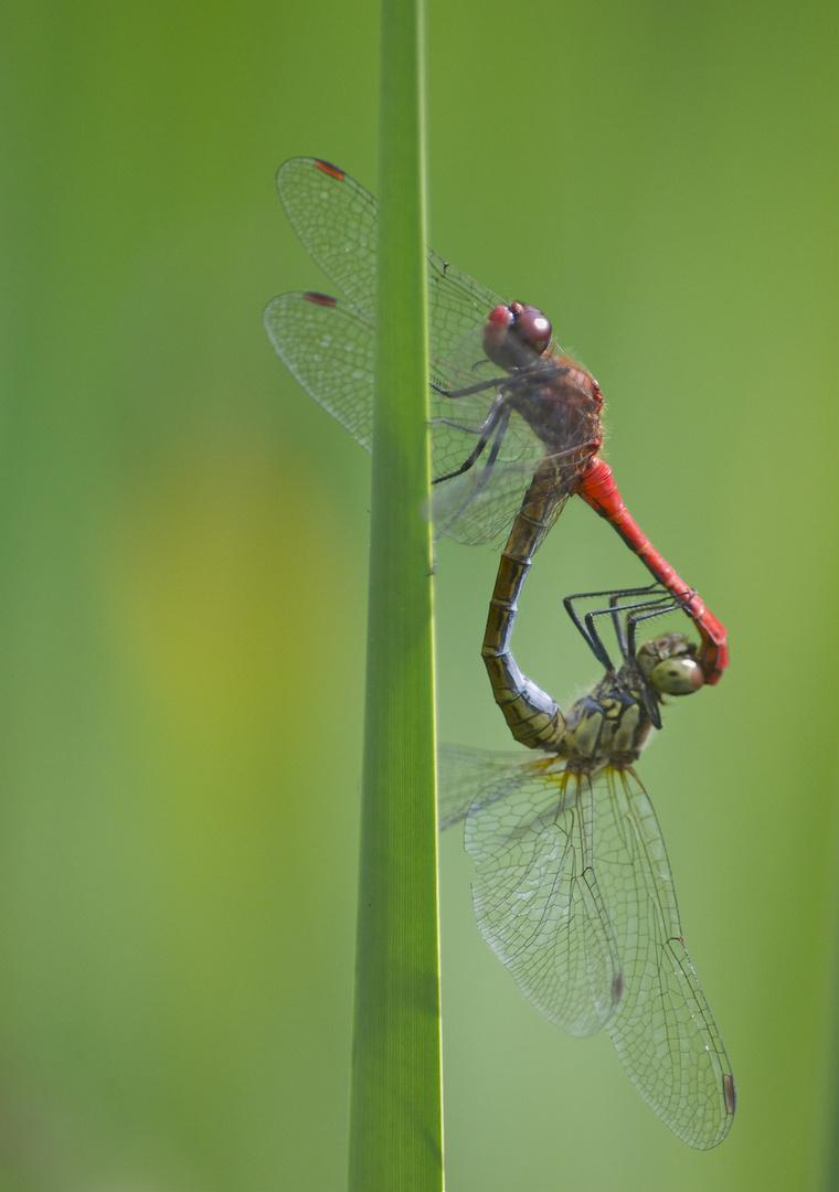 Paarungsrad der Blutroten Heidelibellen