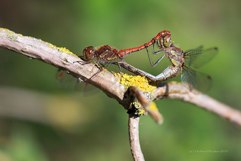 Paarungsrad der Großen Heidelibelle (Sympetrum striolatum)