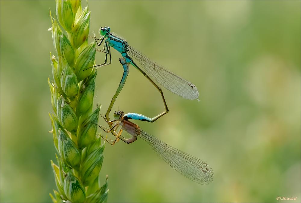 Paarungsrad der Grossen Pechlibelle