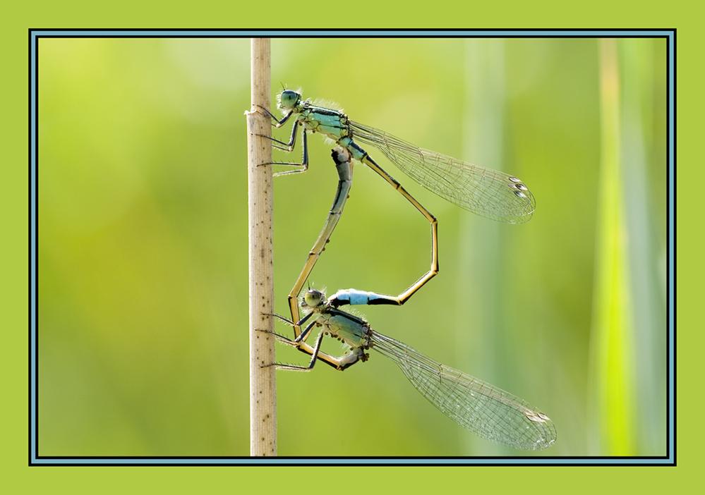 Paarungsrad der grossen Pechlibelle ´Ischnura elegans´