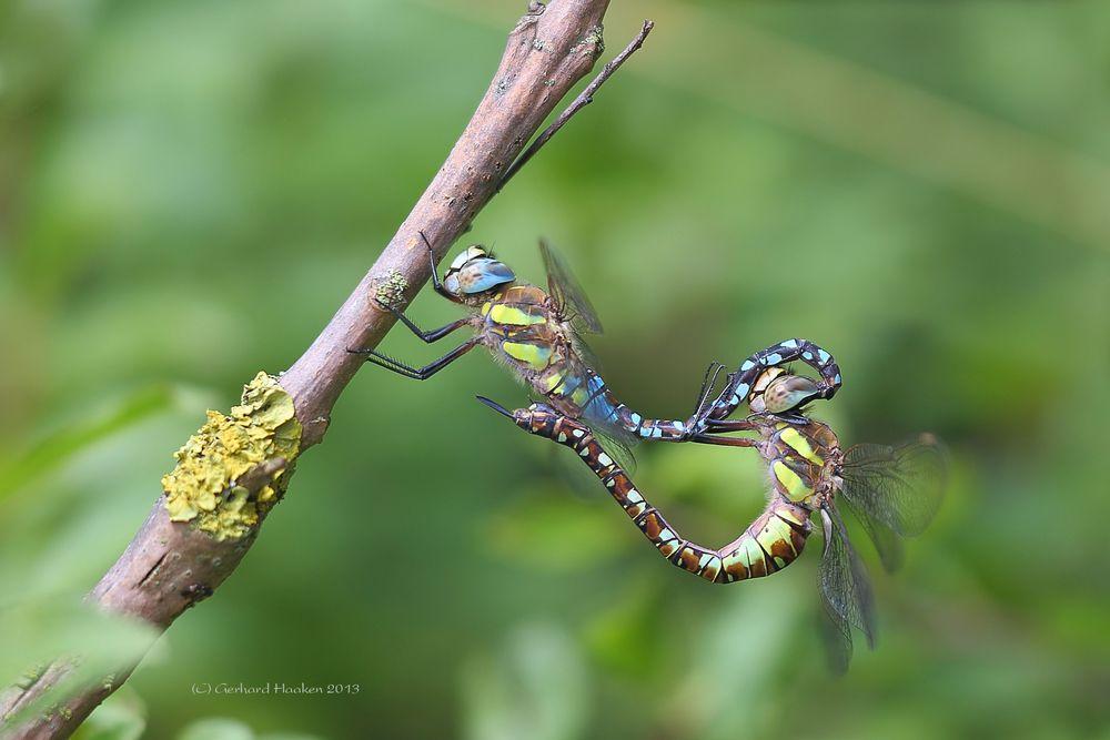 Paarungsrad der Herbst Mosaikjungfer (Aeshna mixta)