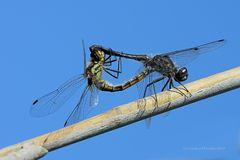 Paarungsrad der Schwarzen Heidelibellen (Sympetrum danae)