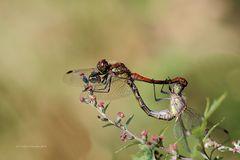 Paarungsrad Große Heidelibelle