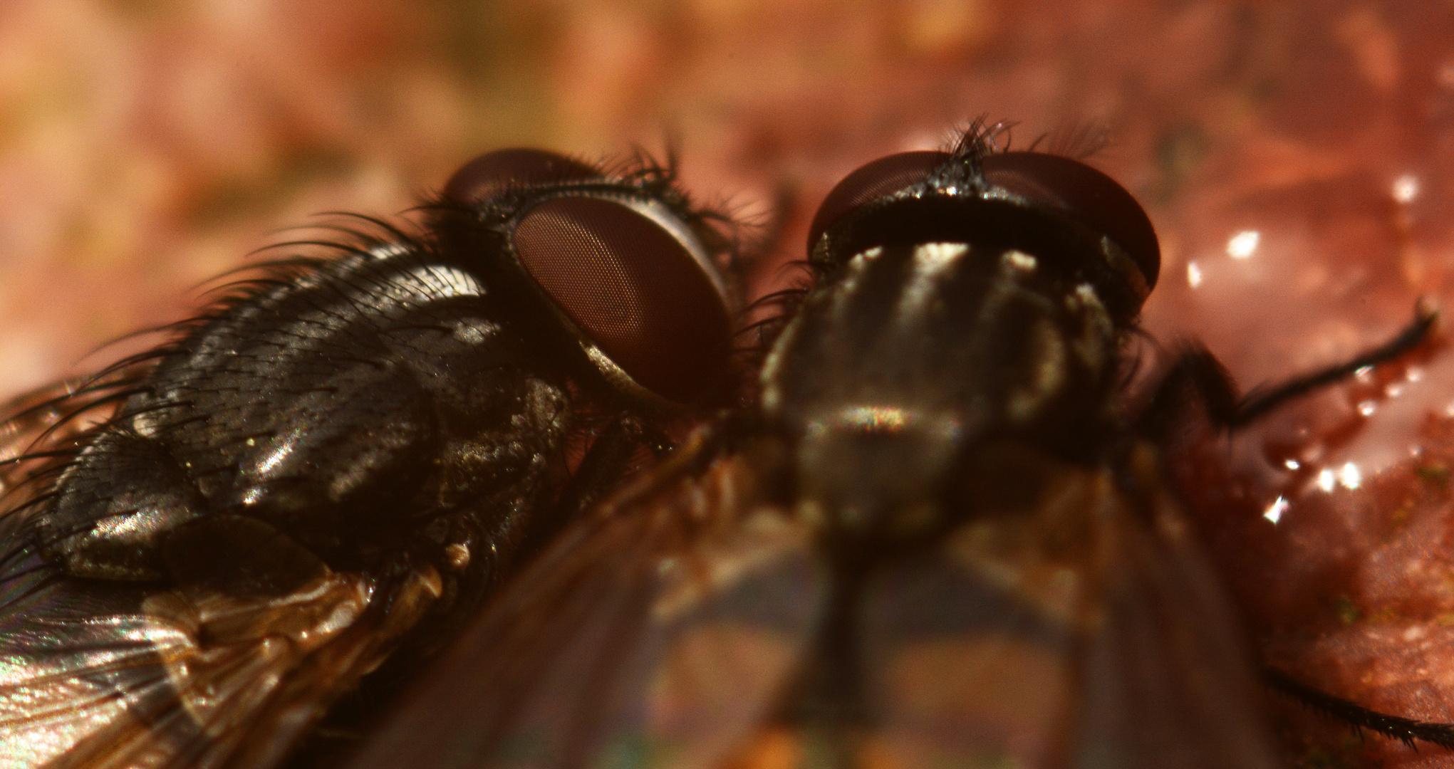 paarweises Synchronhonigschlecken zweier Fliegen